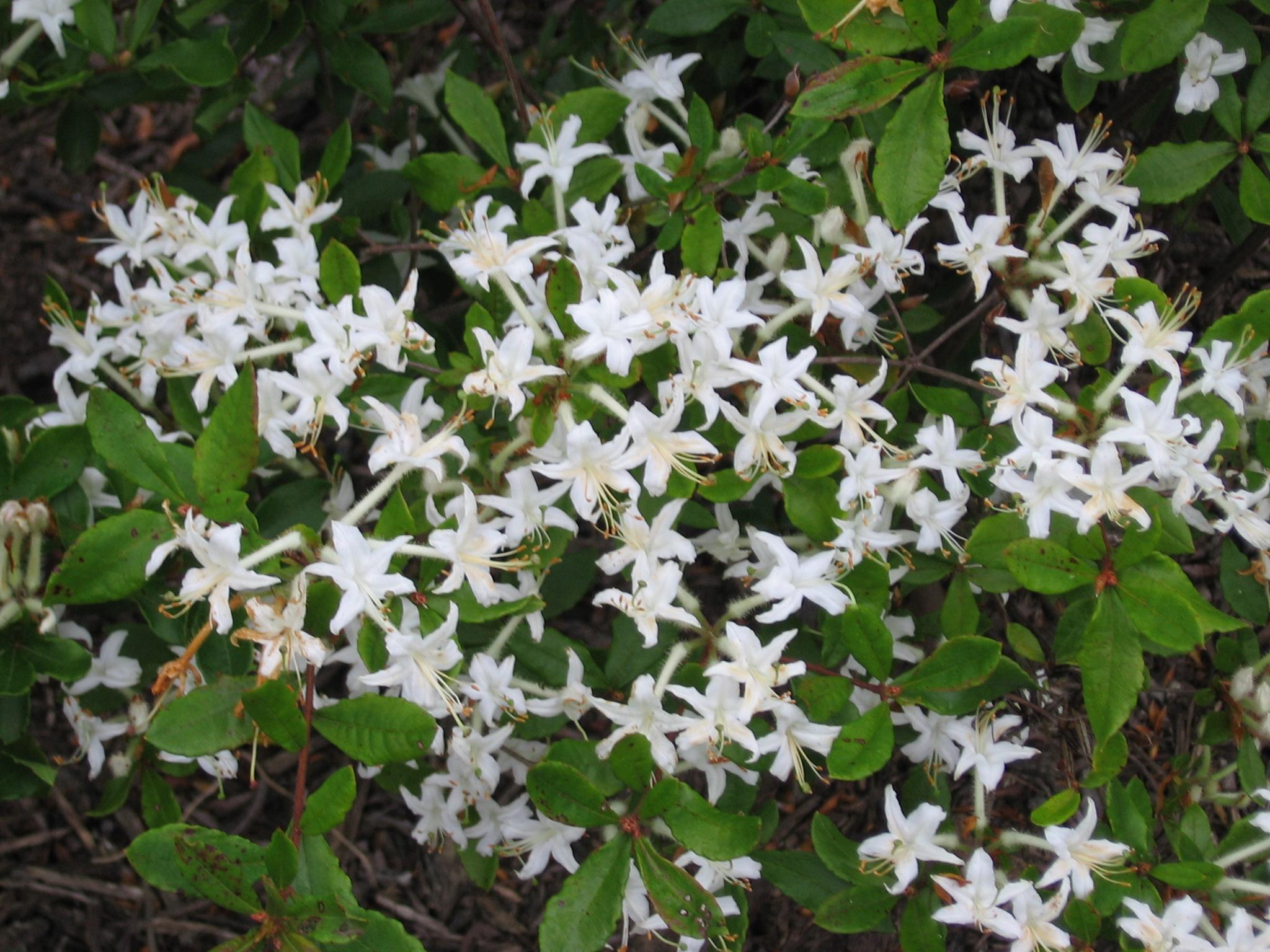 Natural Landscapes Nursery Rhodo. viscosum v. serrulatum