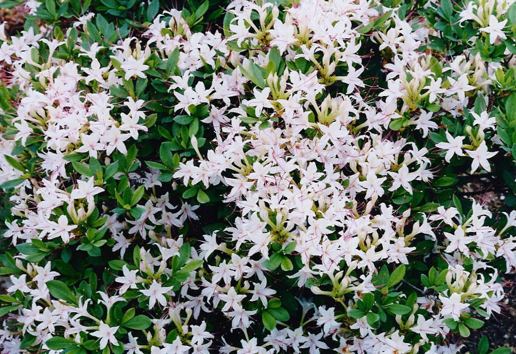 Natural landscapes nursery native azaleas sweet azalea image large very fragrant white flowers mightylinksfo