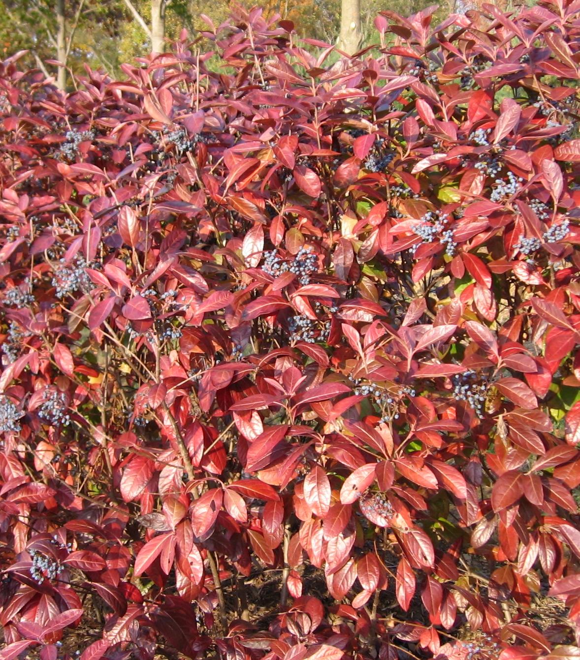 Back to top Viburnum Arrowwood Fall Color