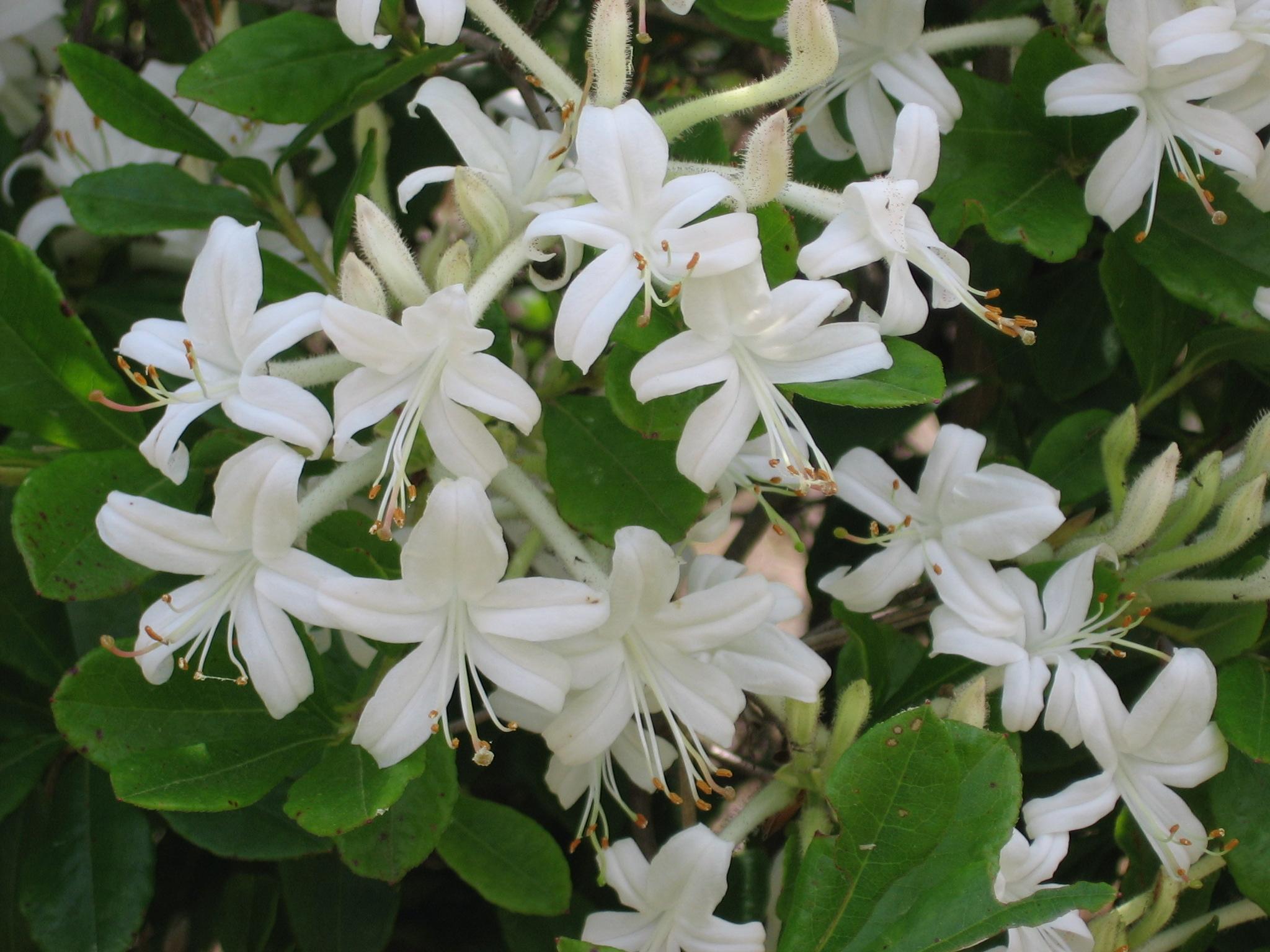 Swamp Azalea Image Abundant Small Fragrant White Flowers