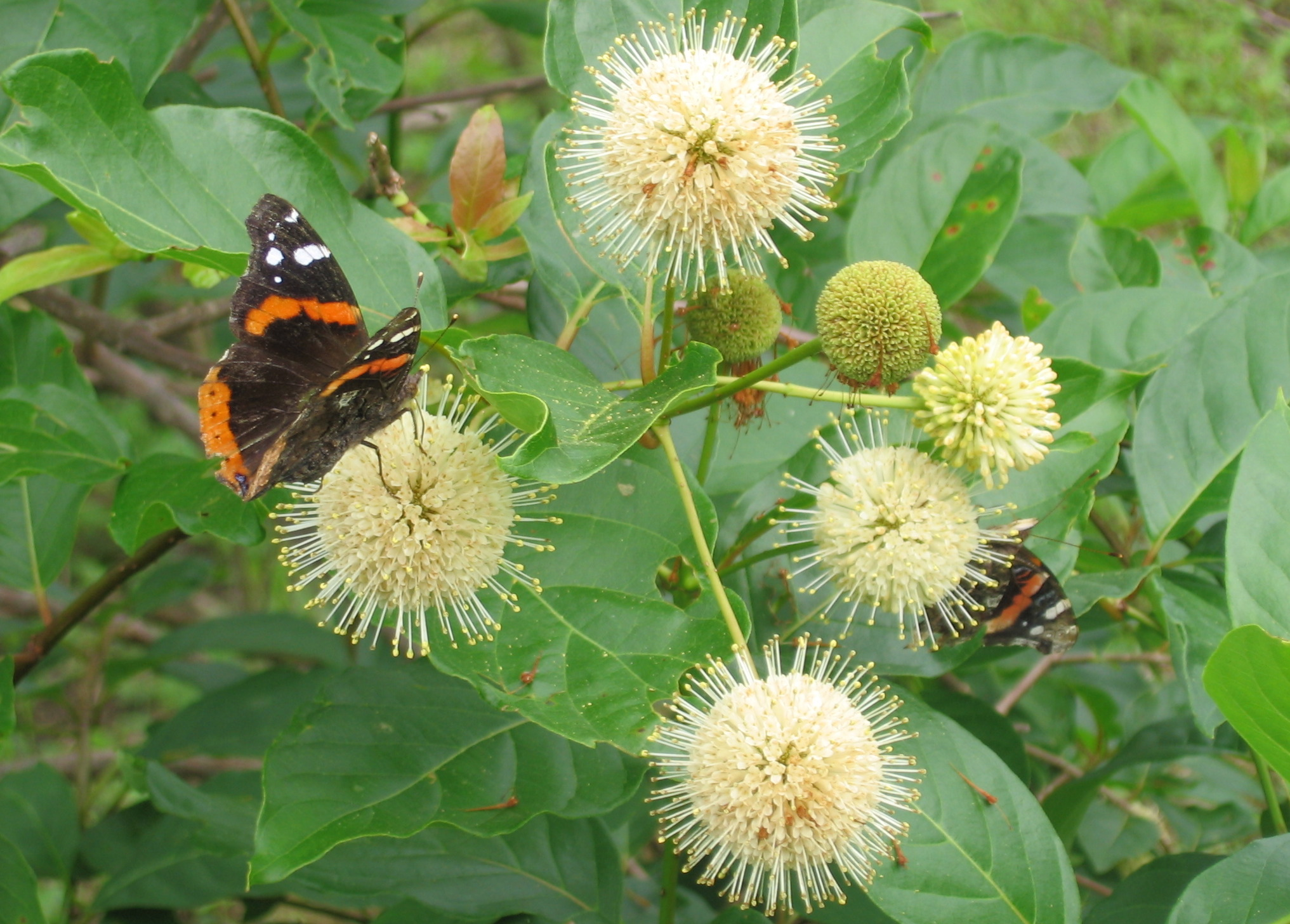 Natural Landscapes Nursery Buttonbush