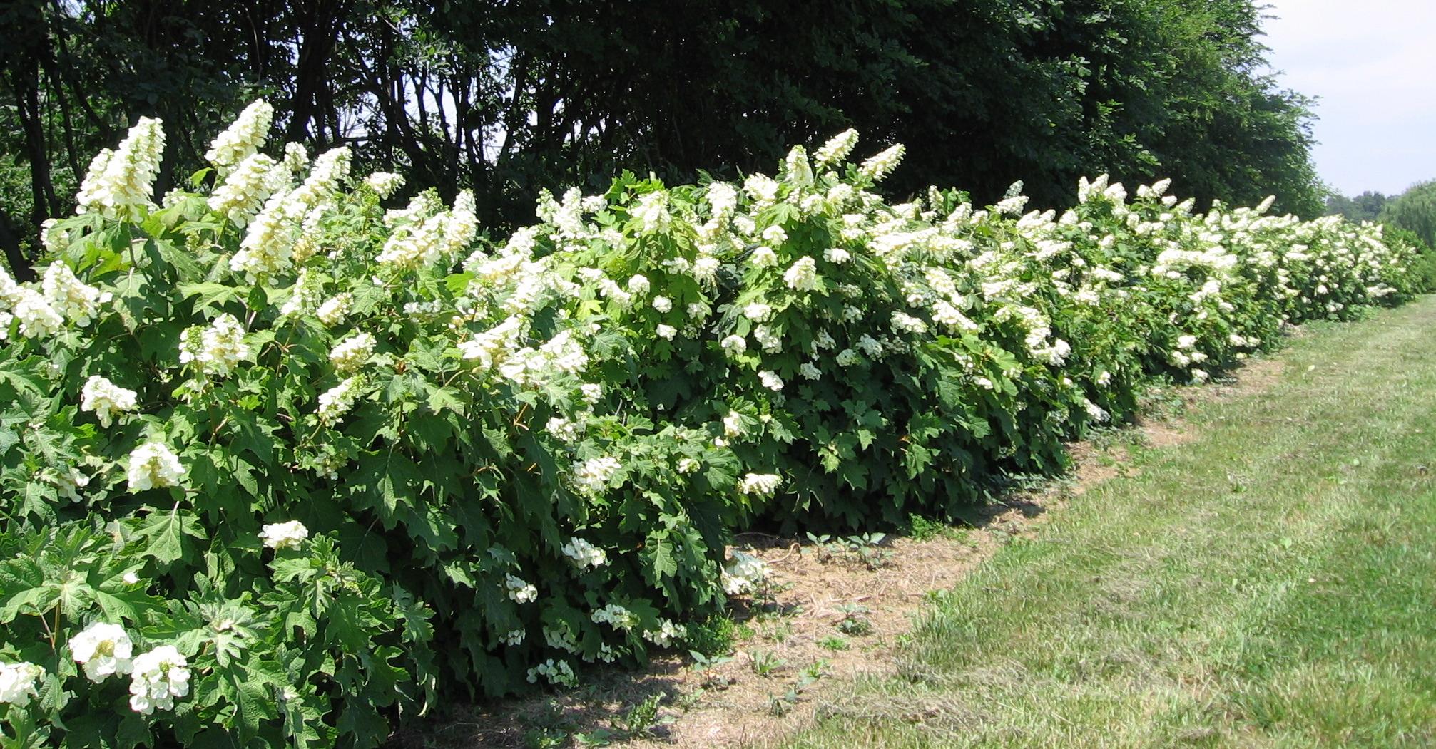 Natural landscapes nursery oakleaf hydrangea for Hydrangea quercifolia
