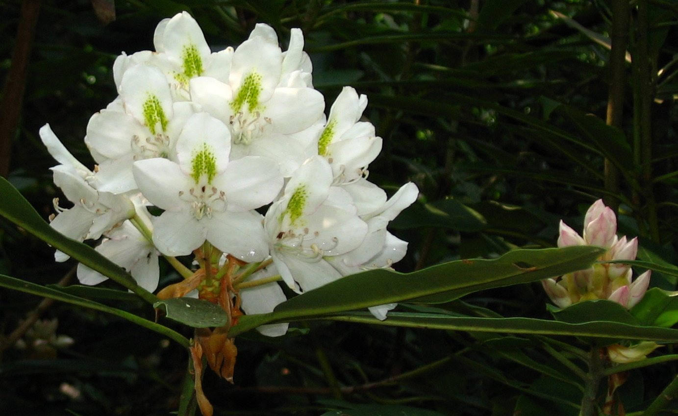 Natural Landscapes Nursery Rhododendron