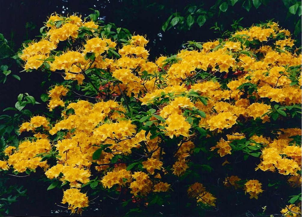 Natural Landscapes Nursery Native Azaleas